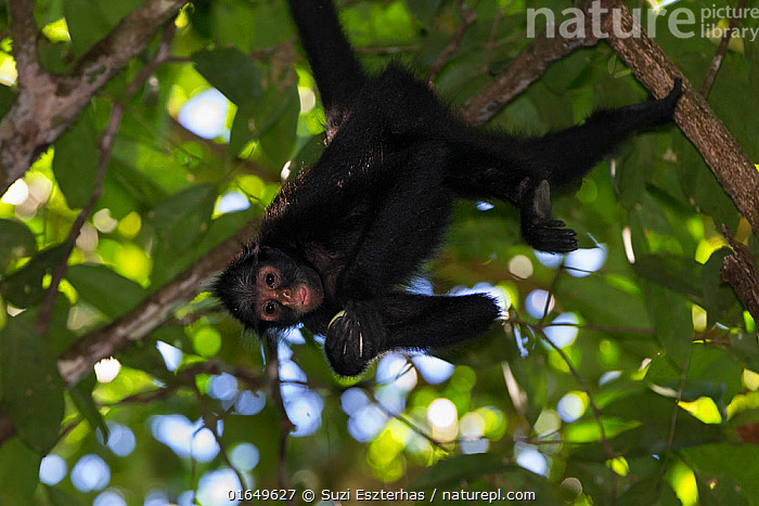 White-cheeked spider monkey (Ateles marginatus) feeding upside down in a tree, Amazon, Brazil. June.  ,  Animal,Wildlife,Vertebrate,Mammal,Monkey,Spider monkeys,White-cheeked Spider Monkey,Animalia,Animal,Wildlife,Vertebrate,Mammalia,Mammal,Primate,Primates,Atelidae,Monkey,New World Monkeys,Ateles,Spider monkeys,Upside Down,Latin America,South America,Brazil,Tropical,Rainforest,Feeding,Forest,Amazon,Ateles marginatus,White-cheeked Spider Monkey,  ,  Suzi Eszterhas