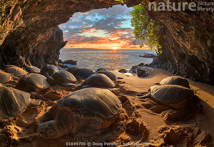 Hawaiian green sea turtles (Chelonia mydas) crowding into a small seaside cavern to bask at sunset. Resting on shore is a behaviour that is very rare for sea turtles, except in Hawaii and the Galapagos Islands. Hawaii, USA.  ,  Animal,Wildlife,Vertebrate,Reptile,Testitudine,Sea turtles,Green turtle,Animalia,Animal,Wildlife,Vertebrate,Reptilia,Reptile,Chelonii,Testitudine,Cheloniidae,Sea turtles,Turtle,Chelonia,Chelonia mydas,Green turtle,Testudo mydas,Testudo cepediana,Chelonia lachrymata,Resting,Rest,Hawaii,Hawaii Islands,Cave,Sunset,Setting Sun,Sunsets,Coast,Coastal,Dusk,Interesting,Hawai&#39,i,Endangered species,threatened,Endangered  ,  Doug Perrine