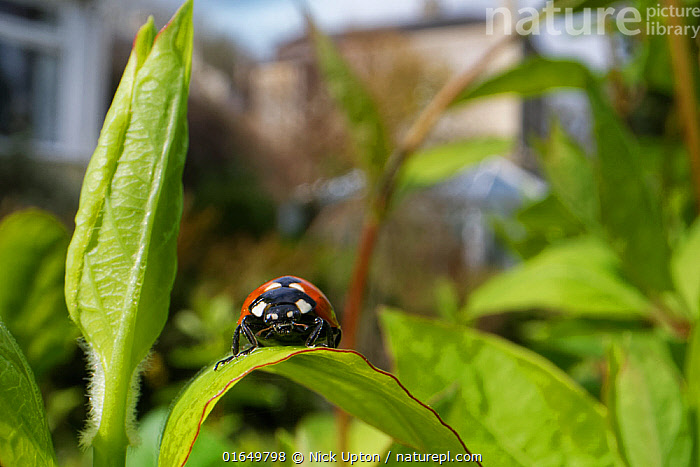 Seven-spot ladybird (Coccinnella septempunctata) just emerged from hibernation, sunning on a Honeysuckle leaf with buildings in the background, Wiltshire garden, UK, April.  ,  One,Single,Spring,Plants,Urban,England,Wide angle views,Invertebrates,Europe,United Kingdom,Gardens,Garden,Buildings,Houses,British,Coccinellidae,Ladybugs,Ladybirds,Spotted,Red,Leaves,Insects,Bushes,Beetles,Black,Coleoptera,Colourful,Suburban,Wildlife,,Animal,Wildlife,Arthropod,Insect,Beetle,Seven spot ladybird,Coccinella transversalis,Transverse Ladybird,Animalia,Animal,Wildlife,Hexapoda,Arthropod,Invertebrate,Hexapod,Arthropoda,Insecta,Insect,Coleoptera,Beetle,Endopterygota,Neoptera,Coccinellidae,Ladybird,Ladybug,Lady bug,Coccinellid,Cucujoidea,Polyphaga,Coccinella,Coccinella septempunctata,Seven spot ladybird,Ladybird beetle,Seven spot ladybeetle,Seven spotted lady beetle,Seven spotted ladybird,Sevenspotted ladybug,7 spot ladybird,C-7,Coccinella 7-punctata,Europe,Western Europe,UK,Great Britain,England,Wiltshire,Portrait,Garden,Habitat,Animal Behaviour,Thermoregulation,Basking,Behaviour,Belidae,Rhinotia,Coccinella transversalis,Transverse Ladybird,Behavioural,Sunning,  ,  Nick Upton
