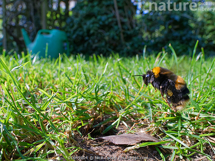 Buff-tailed bumblebee (Bombus terrestris) queen about to land at her nest burrow in a garden lawn with loaded pollen sacs to provision grubs that will become future workers for her colony, Wiltshire, UK, April.  ,  Suburban,Urban,Gardens,Colourful,Furry,Bumblebees,Apidae,Bees,Hymenoptera,Europe,British,United Kingdom,Invertebrates,Black,Insects,Single,England,One,UK,Orange,Spring,Nesting,Provisioning,Maternal care,Female,Behaviour,Flight,Flying,Garden,Wildlife,,Animal,Wildlife,Arthropod,Insect,Bee,Bumblebee,Buff tailed bumblebee,Animalia,Animal,Wildlife,Hexapoda,Arthropod,Invertebrate,Hexapod,Arthropoda,Insecta,Insect,Hymenoptera,Apidae,Bee,Apid bee,Apoidea,Apocrita,Bombus,Bumblebee,Bumble bee,Bombus terrestris,Buff tailed bumblebee,Large earth bumblebee,Apis terrestris,Bombus canariensis,Flying,Europe,Western Europe,UK,Great Britain,England,Wiltshire,Profile,Side View,Wide Angle,Grounds,Ground,Garden,Lawn,Lawns,Turf,Burrow,Burrows,Habitat,Queen,Gyne,  ,  Nick Upton