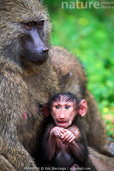 Olive baboon (Papio hamadryas anubis) baby with its mother, Kibale National Park, Uganda, Africa  ,  Africa,East Africa,Uganda,Animal,Young Animal,Baby,Female animal,Reserve,Family,Mother baby,Mother,Protected area,National Park,Parent baby,  ,  Eric Baccega