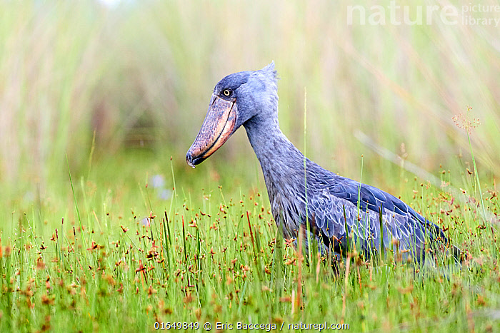 Shoebill stork (Balaeniceps rex) in the swamps of Mabamba, Lake Victoria, Uganda.  ,  Animal,Wildlife,Vertebrate,Bird,Birds,Shoebill,Whale headed stork,Animalia,Animal,Wildlife,Vertebrate,Aves,Bird,Birds,Pelecaniformes,Balaenicipitidae,Shoebill,Balaeniceps,Balaeniceps rex,Whale headed stork,Whalehead,Shoe billed stork,Bog Bird,Shoebill stork,Africa,East Africa,Uganda,Profile,Side View,Lake Victoria,Endangered species,threatened,Vulnerable  ,  Eric Baccega