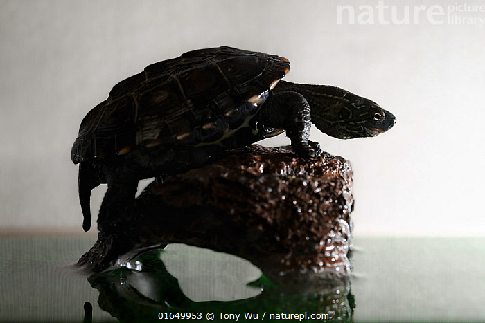 Juvenile Chinese pond turtle (Mauremys reevesii), measuing 10cm, in terrarium. Rescued from a road, hand-reared now, Japan. Controlled conditions.  ,  Animal,Wildlife,Vertebrate,Reptile,Testitudine,Pond Turtles,Chinese pond turtle,Animalia,Animal,Wildlife,Vertebrate,Reptilia,Reptile,Chelonii,Testitudine,Emydidae,Pond Turtles,Marsh turtles,Turtle,Malaclemys,Mauremys reevesii,Chinese pond turtle,Emys reevesii,Chinemys reevesii,Chinemys megalocephala,Rescue,Rescues,Rescuing,Saving,Asia,East Asia,Japan,Back Lit,Young Animal,Baby,Conservation,Animal rehabilitation,Biodiversity hotspot,Rehabilitation,Wildlife conservation,Endangered species,threatened,Endangered  ,  Tony Wu