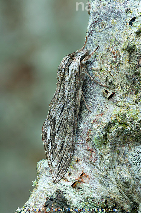 Canadian sphinx (Sphinx canadensis) camouflaged on tree bark, Lac-Drolet Province, Quebec, Canada, April.  ,  Animal,Wildlife,Arthropod,Insect,Sphingid,Animalia,Animal,Wildlife,Hexapoda,Arthropod,Invertebrate,Hexapod,Arthropoda,Insecta,Insect,Lepidoptera,Lepidopterans,Sphingidae,Sphingid,Hawkmoth,Hawk moth,Sphinx moth,Hornworm,Moth,Sphinx,Camouflage,Plant,Bark,Dolbina,Sphinx canadensis,  ,  Robert  Thompson