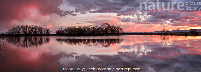 Leafless Cottonwood trees (Populus sp.) and cattails reflected in the water at sunset, Whitewater Draw, Arizona State Game and Fish Reserve, USA. January 2020.  ,  American,Atmospheric Mood,Colour,Pink,North America,USA,Western USA,Southwest USA,Arizona,Back Lit,Reflection,Sky,Cloud,Sunset,Setting Sun,Sunsets,Landscape,Wetland,Marsh,Marshland,Water,Silhouette,Dusk,American,United States of America,Whitewater Draw Wildlife Area,Whitewater Draw,  ,  Jack Dykinga