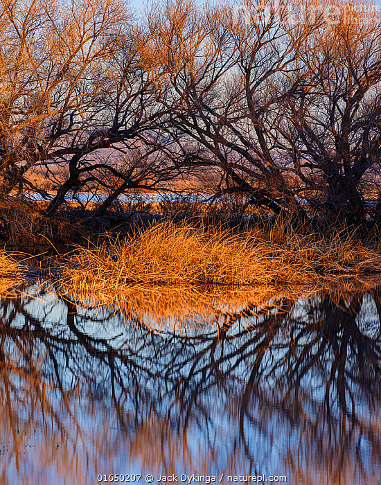 Leafless Cottonwood trees (Populus sp.) and cattails reflected in the water at dawn, Whitewater Draw, Arizona State Game and Fish Reserve, USA. January 2020.  ,  American,Atmospheric Mood,North America,USA,Western USA,Southwest USA,Arizona,Reflection,Landscape,Wetland,Marsh,Marshland,Water,Dawn,American,United States of America,Whitewater Draw Wildlife Area,Whitewater Draw,  ,  Jack Dykinga