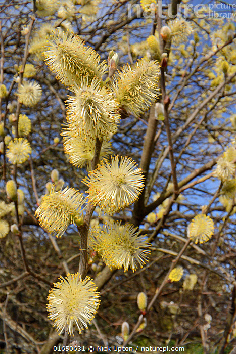 Pussy willow / Goat willow (Salix caprea) tree flowering, with mass of male catkins, Cornwall, UK, March  ,  Plant,Vascular plant,Flowering plant,Rosid,Willow,Pussy willow tree,Plantae,Plant,Tracheophyta,Vascular plant,Magnoliopsida,Flowering plant,Angiosperm,Spermatophyte,Spermatophytina,Angiospermae,Malpighiales,Rosid,Dicot,Dicotyledon,Rosanae,Salicaceae,Salix,Willow,Salix caprea,Pussy willow tree,Goat willow tree,Salix bakko,Salix coaetanea,Salix hultenii,March,Europe,Western Europe,UK,Great Britain,England,Cornwall,Catkin,Flower,Tree,Trees  ,  Nick Upton