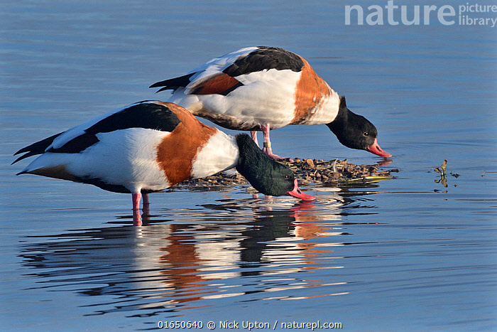 Common shelduck pair (Tadorna tadorna) standing and drinking in the margins of a shallow lake, Gloucestershire, UK, November.  ,  Animal,Wildlife,Vertebrate,Bird,Birds,Water fowl,Waterfowl,Shelduck,Animalia,Animal,Wildlife,Vertebrate,Aves,Bird,Birds,Anseriformes,Water fowl,Galloanserans,Waterfowl,Anatidae,Tadorna,Shelduck,Tadorninae,Tadorna tadorna,Common Shelduck,Northern shelduck,Red billed shelduck,Europe,Western Europe,UK,Great Britain,England,Gloucestershire,Reflection,Male female pair,Wildfowl,Duck,Ducks  ,  Nick Upton