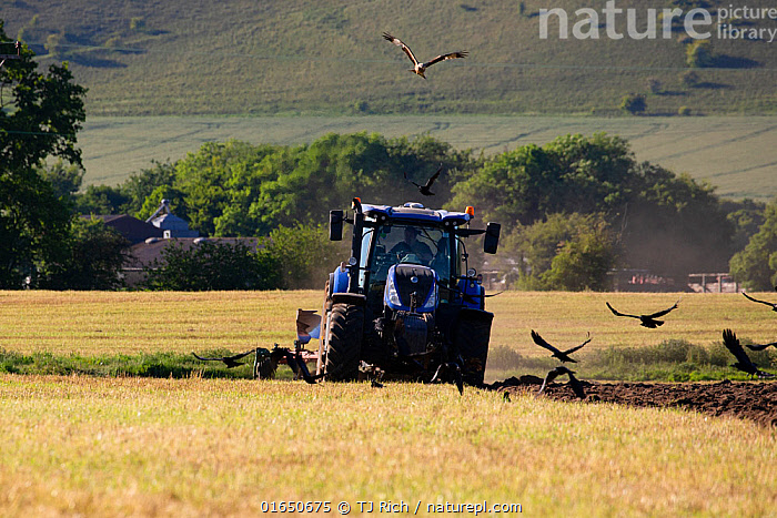 Red kites (Milvus milvus) following the plough with Corvids (Corvus sp.) Pewsey Vale, Wiltshire, UK, May.  ,  Animal,Wildlife,Vertebrate,Bird,Birds,Kite,Red kite,Songbird,Crow,Animalia,Animal,Wildlife,Vertebrate,Aves,Bird,Birds,Accipitriformes,Accipitridae,Milvus,Kite,Bird of prey,Raptor,Milvus milvus,Red kite,Passeriformes,Songbird,Passerine,Corvidae,Corvid,Corvus,Crow,Northern raven,Flying,Group Of Animals,Flock,Group,Europe,Western Europe,UK,Great Britain,England,Wiltshire,Equipment,Agricultural Equipment,Agricultural Machinery,Agricultural Machine,Agricultural Machines,Machine,Machines,Plow,Plough,Ploughs,Plows,Agricultural Land,Cultivated Land,Field,Agriculture,Farmland,Birds of Prey,  ,  TJ Rich