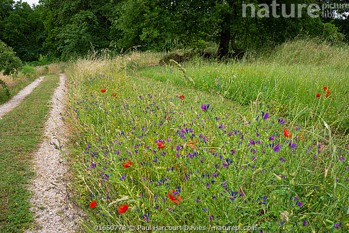 View down drive lined with wildflowers to photographer's house, Podere Montecucco, Umbria, Italy, June 2020.  ,  Europe,Southern Europe,Italy,Umbria,Plant,Wildflower,Wildflowers,Flower,Garden,Path,Covid lockdown,  ,  Paul  Harcourt Davies