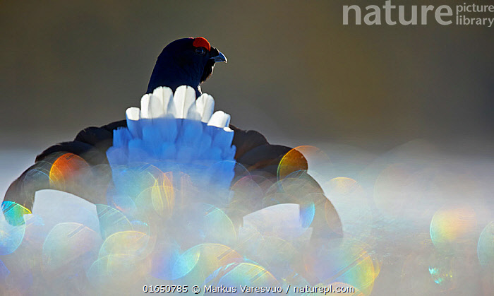 Black Grouse (Lyrurus tetrix) male displaying with bokeh effect in the foreground, Liminka, Finland, March  ,  Animal,Wildlife,Vertebrate,Bird,Birds,Grouse,Black grouse,Animalia,Animal,Wildlife,Vertebrate,Aves,Bird,Birds,Galliformes,Galliforms,Galloanserae,Phasianidae,Tetrao,Grouse,Tetraonidae,Tetraoninae,Tetrao tetrix,Black grouse,Eurasian black grouse,Blackgame,Europe,Northern Europe,North Europe,Nordic Countries,Finland,Rear View,Male Animal,Feather,Animal Behaviour,Display,Arty shots,Abstract,Abstracts,Behaviour,Displaying,Lyurus tetrix,Northern Black Grouse,Behavioural,Gamebird,Gamebirds,Game bird,Game birds  ,  Markus Varesvuo