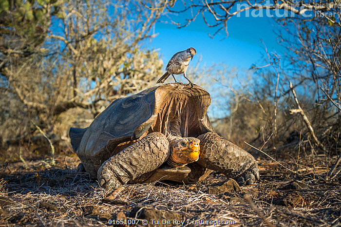 Epanola saddelback tortoise (Chelonoidis hoodensis), with Galapagos mockingbird (Mimus parvulus) perched on carapace, Espnola Island, Galapagos.  ,  GalCal all,,Animal,Wildlife,Vertebrate,Reptile,Testitudine,Tortoises,Hood island tortoise,Bird,Birds,Songbird,Thrasher,Typical mockingbird,Galapagos mockingbird,Animalia,Animal,Wildlife,Vertebrate,Reptilia,Reptile,Chelonii,Testitudine,Testudinidae,Tortoises,Turtle,Chelonoidis,Chelonoidis hoodensis,Hood island tortoise,Chelonoidis nigra hoodensis,Geochelone nigra hoodensis,Geochelone hoodensis,Aves,Bird,Birds,Passeriformes,Songbird,Passerine,Mimidae,Thrasher,Mimid,Mimus,Typical mockingbird,Nesomimus,Mimus parvulus,Galapagos mockingbird,Humorous,Latin America,South America,Galapagos Islands,Galapagos,Front View,Portrait,Mixed species,Biodiversity hotspot,Galapagos National Park,UNESCO World Heritage Site,Nesomimus parvulus,Endangered species,threatened,Critically endangered  ,  Tui De Roy