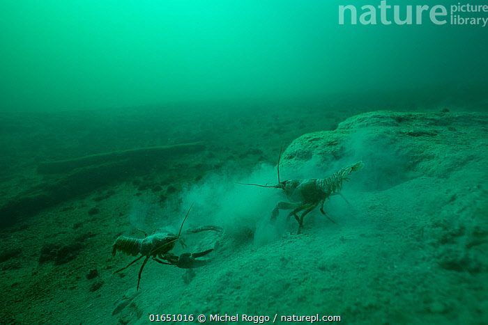 Signal crayfish (Pacifastacus leniusculus), fighting for burrow built in the soft limestone lake bed, Lake Neuchatel, Switzerland, October. Photographed for The Freshwater Project.  ,  Animal,Wildlife,Crustacean,Decapod,Crayfish,Signal crayfish,Animalia,Animal,Wildlife,Crustracea,Crustacean,Malacostraca,Decapoda,Decapod,Astacidae,Crayfish,Pacifastacus,Pacifastacus leniusculus,Signal crayfish,Colour,Green,Europe,Western Europe,Switzerland,Freshwater,Lake,Underwater,Water,Temperate,Arthropod,Arthropods,Invertebrate,Freshwater  ,  Michel Roggo