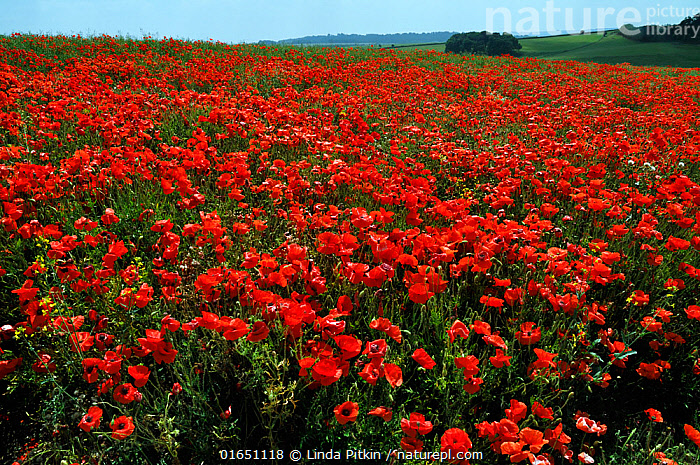 Common poppies (Papaver rhoeas) in field, 