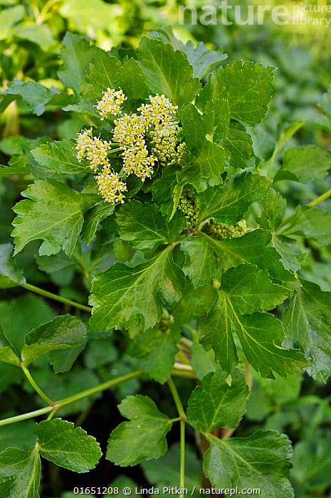 Alexanders (Smyrnium olusatrum), growing on roadside verge. Locally rare plant. Betchworth, Surrey, England, May.  ,  Plant,Vascular plant,Flowering plant,Asterid,Carrot family,Alexanders,Plantae,Plant,Tracheophyta,Vascular plant,Magnoliopsida,Flowering plant,Angiosperm,Spermatophyte,Spermatophytina,Angiospermae,Apiales,Asterid,Dicot,Dicotyledon,Asteranae,Apiaceae,Carrot family,Parsley family,Umbelliferae,Smyrnium,Alexanders,Smyrnium olusatrum,Alisanders,Horse parsley,Colour,Yellow,Europe,Western Europe,UK,Great Britain,England,Surrey,Flower,Roadside,Verge,  ,  Linda Pitkin