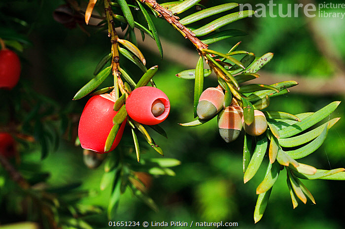Yew (Taxus baccata), mature and immature berries (arils), Polesden Lacey NT, Surrey, England, October.  ,  Plant,Vascular plant,Conifer,Yew,English yew tree,Plantae,Plant,Tracheophyta,Vascular plant,Pinopsida,Conifer,Gymnosperm,Spermatophyte,Pinophyta,Coniferophyta,Coniferae,Spermatophytina,Gymnospermae,Cupressales,Taxaceae,Taxus,Yew,Taxus baccata,English yew tree,European yew,Common yew,Cephalotaxus brevifolia,Taxus baccifera,Verataxus adpressa,Europe,Western Europe,UK,Great Britain,England,Surrey,Berry,Fruit,Coniferous,Tree,Trees  ,  Linda Pitkin
