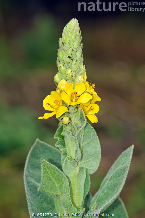 Great mullein (Verbascum thapsus) 
