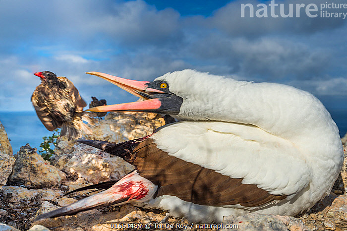 Nazca booby (Sula granti) biting at Vampire ground finch (Geospiza septentrionalis) which was feeding on its blood, Wolf Island, Galapagos.  ,  Animal,Wildlife,Vertebrate,Bird,Birds,Phalacrocoraciformes,Sulid,Booby,Nazca booby,Songbird,Tanager,Darwin&#39,s finch,Vampire finch,Animalia,Animal,Wildlife,Vertebrate,Aves,Bird,Birds,Suliformes,Phalacrocoraciformes,Sulidae,Sulid,Sula,Booby,Sula granti,Nazca booby,Sula dactylatra granti,Passeriformes,Songbird,Passerine,Thraupidae,Tanager,Geospiza,Darwin&#39,s finch,Bizarre,Weird,Latin America,South America,Galapagos Islands,Galapagos,Feeding,Biodiversity hotspot,Interesting,Galapagos National Park,UNESCO World Heritage Site,Wolf Island,Wenman Island,Geospiza septentrionalis,Vampire finch,Seabird,Seabirds,Marine bird,Marine birds  ,  Tui De Roy