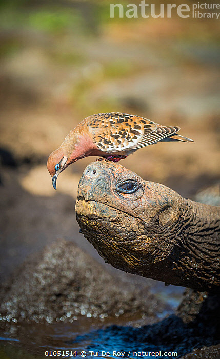 Galapagos dove (Zenadia galapagensis) on head of Galapagos giant tortoise, (Chelonoidis darwini) Santiago Highlands, Galapagos.  ,  Animal,Wildlife,Vertebrate,Reptile,Testitudine,Tortoises,Bird,Birds,Dove,Galapagos dove,Animalia,Animal,Wildlife,Vertebrate,Reptilia,Reptile,Chelonii,Testitudine,Testudinidae,Tortoises,Turtle,Chelonoidis,Aves,Bird,Birds,Columbiformes,Dove,Pigeon,Columbidae,Zenaida,Zenaida galapagoensis,Galapagos dove,Humorous,Latin America,South America,Galapagos Islands,Galapagos,Profile,Side View,Portrait,Biodiversity hotspot,Galapagos National Park,UNESCO World Heritage Site,Chelonoidis darwini,  ,  Tui De Roy