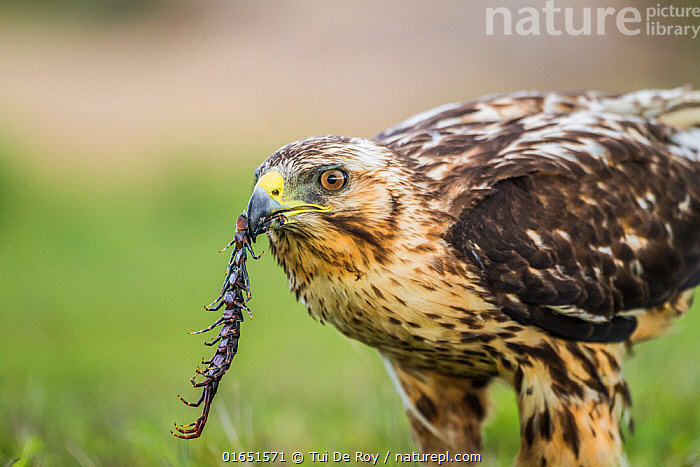 Galapagos hawk (Buteo galapagoensis) with centipede prey, Alcedo Volcano, Isabela Island, Galapagos  ,  Animal,Wildlife,Arthropod,Vertebrate,Bird,Birds,Buzzard,Galapagos hawk,Animalia,Animal,Wildlife,Myriapoda,Arthropod,Myriapod,Arthropoda,Chilopoda,Vertebrate,Aves,Bird,Birds,Accipitriformes,Accipitridae,Buteo,Buzzard,Hawk,Bird of prey,Raptor,Buteo galapagoensis,Galapagos hawk,Latin America,South America,Galapagos Islands,Galapagos,Animal Behaviour,Feeding,Predation,Behaviour,Biodiversity hotspot,Invertebrate,Isabela Island,Behavioural,Galapagos National Park,UNESCO World Heritage Site,Birds of Prey,Endangered species,threatened,Vulnerable  ,  Tui De Roy