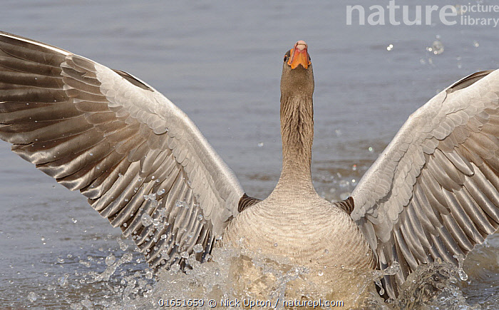 Greylag goose (Anser anser) landing with its wings and head raised to chase off another from its territory in a marshland pool, Gloucestershire, UK, January.  ,  Animal,Wildlife,Vertebrate,Bird,Birds,Water fowl,Waterfowl,True goose,Greylag goose,Animalia,Animal,Wildlife,Vertebrate,Aves,Bird,Birds,Anseriformes,Water fowl,Galloanserans,Waterfowl,Anatidae,Anser,True goose,Goose,Anserini,Anserinae,Anser anser,Greylag goose,Grey goose,Europe,Western Europe,UK,Great Britain,England,Gloucestershire,Wildfowl,Goose,Geese,,catalogue14  ,  Nick Upton