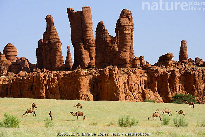 Eroded sandstone rock formations with Dromedary camels (Camelus dromedarius) grazing on new grass after desert rains. Ennedi Natural And Cultural Reserve, UNESCO World Heritage Site, Chad. September 2019.  ,  Animal,Wildlife,Vertebrate,Mammal,Camelid,Camel,Dromedary camel,Animalia,Animal,Wildlife,Vertebrate,Mammalia,Mammal,Artiodactyla,Even-toed ungulates,Camelidae,Camelid,Tylopoda,Camelus,Camel,Camelus dromedarius,Dromedary camel,Domesticated,domestic camel,Camelus aegyptiacus,Camelus dromas,Camelus ferus,Africa,Central Africa,Chad,Rock Formations,Monolith,Pinnacles,The Pinnacles,Desert,Sahara Desert,Sahara,Rock,Sandstone,Landscape,Geology,Protected area,UNESCO World Heritage Site,Landform,  ,  Enrique Lopez-Tapia