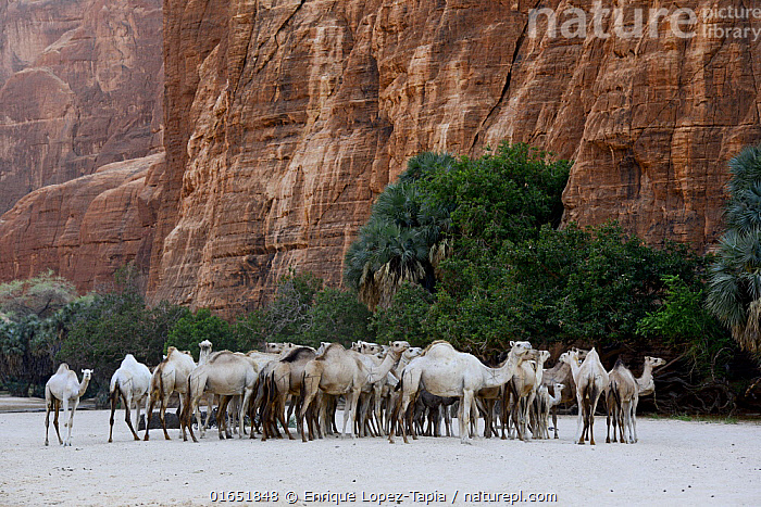 Dromedary camel (Camelus dromedarius) herd in a gorge with water on the Ennedi plateau. Ennedi Natural and Cultural Reserve, UNESCO World Heritage Site, Chad. September 2019.  ,  Group Of Animals,Herd,Group,Africa,Central Africa,Chad,Animal,Rock Formations,Desert,Sahara Desert,Sahara,Rock,Sandstone,Domestic animal,Geology,Domesticated,Protected area,UNESCO World Heritage Site,Domestic camel,Camel,Mammal,Gorge,Landform,  ,  Enrique Lopez-Tapia