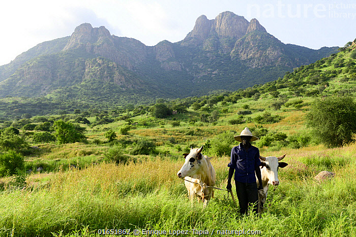 Man with his cattle in the Guera Mountains, southern Chad. September 2019.  ,  People,Man,Africa,Central Africa,Chad,Animal,Female animal,Cow,Landscape,Livestock,Domestic animal,Cattle,Domesticated,Local people,Herder,Mammal,  ,  Enrique Lopez-Tapia
