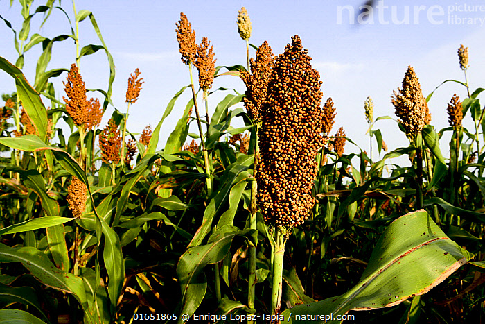 Millet plantation, Guera Mountains, southern Chad. September 2019.  ,  Plant,Vascular plant,Flowering plant,Monocot,Grass,Sorghum,Plantae,Plant,Tracheophyta,Vascular plant,Magnoliopsida,Flowering plant,Angiosperm,Spermatophyte,Spermatophytina,Angiospermae,Poales,Monocot,Monocotyledon,Lilianae,Poaceae,Grass,True grass,Gramineae,Sorghum,Sorghum bicolor,Black amber,Durra,Broom corn,Broomcorn,Chicken corn,Shattercane,Wild cane,Andropogon besseri,Holcus bicolor,Milium bicolor,Africa,Central Africa,Chad,Crops,Produce,Cultivated,Ripe,Food,Grain,Grains,  ,  Enrique Lopez-Tapia