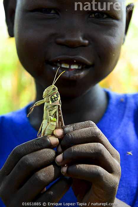A child holding a migratory locust ,he has caught, South of Chad. September 2019.  ,  Animal,Wildlife,Arthropod,Insect,Orthopterida,Grasshopper,Locust,Migratory locust,Animalia,Animal,Wildlife,Hexapoda,Arthropod,Invertebrate,Hexapod,Arthropoda,Insecta,Insect,Orthoptera,Orthopterida,Acrididae,Grasshopper,Short horned grasshopper,Acrid,Acridoidea,Caelifera,Locusta,Locust,Bandwing,Bandwinged grasshopper,Oedipodidae,Oedipodinae,Locusta migratoria,Migratory locust,Ussure,African migratory locust,Gryllus migratoria,Acridium migratorium,Pachytylus migratorius,People,Child,Curiosity,Africa,Central Africa,Chad,Portrait,Local people,Young,Young Person,,,catalogue14  ,  Enrique Lopez-Tapia