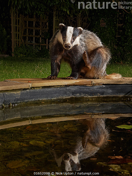 European badger (Meles meles) reflected as it scratches itself on the edge of a garden pond it is visiting to drink at night, Wiltshire, UK, June. Property released.  ,  Animal,Wildlife,Vertebrate,Mammal,Carnivore,Mustelid,Badger,Animalia,Animal,Wildlife,Vertebrate,Mammalia,Mammal,Carnivora,Carnivore,Mustelidae,Mustelid,Meles,Badger,Meles meles,Eurasian Badger,Scratching,Europe,Western Europe,UK,Great Britain,England,Wiltshire,Garden,Reflection,Night,Freshwater,Pond,Water,Eye contact,Direct Gaze,Looking,  ,  Nick Upton
