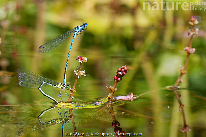 Azure damselfly (Coenagrion puella) pair in tandem as the female stands on a Spiked water milfoil (Myriophyllum spicatum) plant to lay her eggs in a garden pond, Wiltshire, UK, May.  ,  Plant,Vascular plant,Flowering plant,Dicot,Watermilfoil,Animal,Wildlife,Arthropod,Insect,Pterygota,Damselfly,Eurasian bluet,Azure damselfly,Plantae,Plant,Tracheophyta,Vascular plant,Magnoliopsida,Flowering plant,Angiosperm,Spermatophyte,Spermatophytina,Angiospermae,Saxifragales,Dicot,Dicotyledon,Saxifraganae,Haloragaceae,Myriophyllum,Watermilfoil,Water milfoil,Animalia,Animal,Wildlife,Hexapoda,Arthropod,Invertebrate,Hexapod,Arthropoda,Insecta,Insect,Odonata,Pterygota,Coenagrionidae,Damselfly,Zygoptera,Coenagrion,Eurasian bluet,Coenagrion puella,Azure damselfly,Azure bluet,Libellula puella,Europe,Western Europe,UK,Great Britain,England,Wiltshire,Garden,Reflection,Freshwater,Pond,Water,Animal Behaviour,Reproduction,Mating Behaviour,Copulation,Male female pair,Behaviour,Egg laying,Lays,Behavioural,Myriophyllum spicatum,  ,  Nick Upton