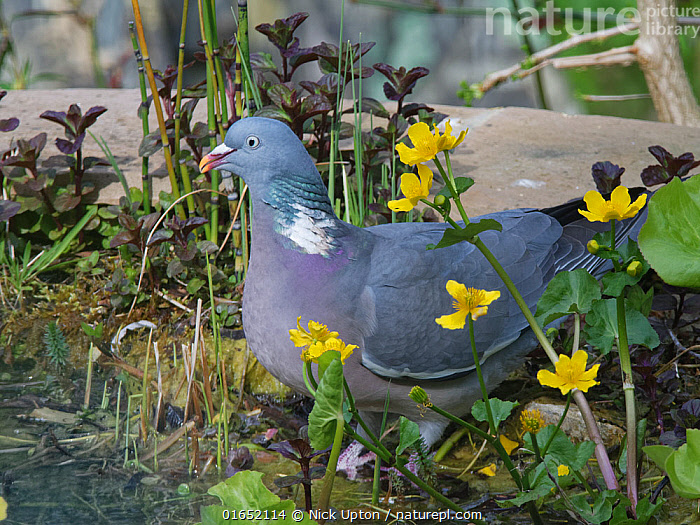 Wood pigeon (Columba palumbus) among King cup / Marsh marigold (Caltha palustris) flowers as it visits to drink from a garden pond, Wiltshire, UK, April.  ,  Plant,Vascular plant,Flowering plant,Dicot,Marsh marigold,Yellow marshmarigold,Animal,Wildlife,Vertebrate,Bird,Birds,Dove,Typical pigeon,Wood pigeon,Plantae,Plant,Tracheophyta,Vascular plant,Magnoliopsida,Flowering plant,Angiosperm,Spermatophyte,Spermatophytina,Angiospermae,Ranunculales,Dicot,Dicotyledon,Ranunculanae,Ranunculaceae,Caltha,Marsh marigold,Caltha palustris,Yellow marshmarigold,Yellow marsh marigold,Kingcup,Trollius paluster,Caltha arctica,Caltha asarifolia,Animalia,Animal,Wildlife,Vertebrate,Aves,Bird,Birds,Columbiformes,Dove,Pigeon,Columbidae,Columba,Typical pigeon,Columba palumbus,Wood pigeon,Ring pigeon,Ringdove,Cushat,Cushie doo,Quest,Woodpigeon,Europe,Western Europe,UK,Great Britain,England,Wiltshire,Portrait,Garden,Spring,Freshwater,Pond,Water,Drinking,Vegetation,  ,  Nick Upton