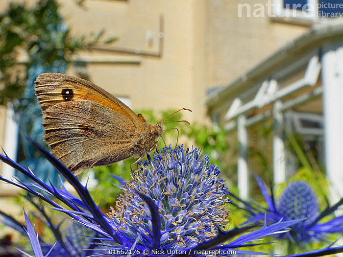 Meadow brown butterfly (Maniola jurtina) nectaring on Eryngium (Eryngium sp.) flowers in a suburban garden close to a house, Bradford-on-Avon, Wiltshire, UK, June. Property released.  ,  Plant,Vascular plant,Flowering plant,Asterid,Carrot family,Animal,Wildlife,Arthropod,Insect,Brushfooted butterfly,Satyrine,Meadow brown,Plantae,Plant,Tracheophyta,Vascular plant,Magnoliopsida,Flowering plant,Angiosperm,Spermatophyte,Spermatophytina,Angiospermae,Apiales,Asterid,Dicot,Dicotyledon,Asteranae,Apiaceae,Carrot family,Parsley family,Umbelliferae,Eryngium,Animalia,Animal,Wildlife,Hexapoda,Arthropod,Invertebrate,Hexapod,Arthropoda,Insecta,Insect,Lepidoptera,Lepidopterans,Nymphalidae,Brushfooted butterfly,Fourfooted butterfly,Nymphalid,Butterfly,Papilionoidea,Maniola,Satyrine,Satyrid,Brown,Satyrinae,Maniola jurtina,Meadow brown,Papilio jurtina,Papilio hispulla,Epinephele splendida,Colour,Blue,Europe,Western Europe,UK,Great Britain,England,Wiltshire,Flower,Garden,Neighborhood,Neighborhoods,Neighbourhood,Neighbourhoods,Suburb,Suburban,Suburbia,Suburbs,Building,Residential Structure,House,Houses,Summer,Feeding,Nectaring,  ,  Nick Upton