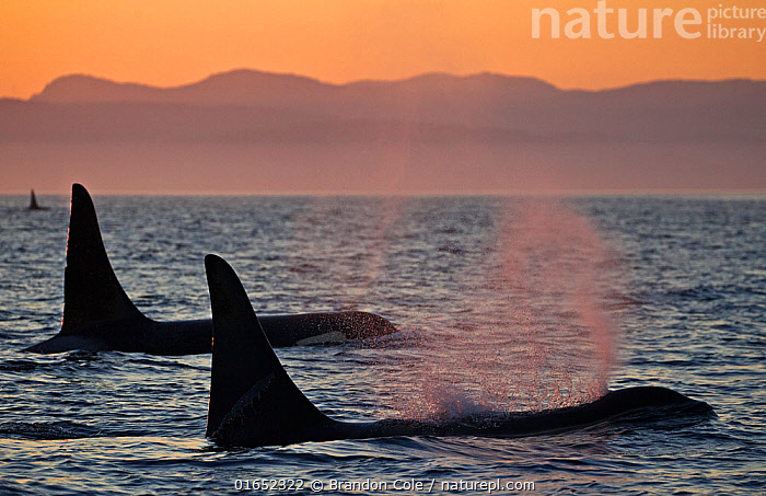 Orca whales (Orcinus orca), three adult male resident killer whales travelling together at sunset. British Columbia, Canada, Pacific Ocean.  ,  Animal,Wildlife,Vertebrate,Mammal,Ceteacean,Oceanic dolphin,Killer Whale,Animalia,Animal,Wildlife,Vertebrate,Mammalia,Mammal,Cetacea,Ceteacean,Delphinidae,Oceanic dolphin,Dolphin,Odontoceti,Orcinus,Orcinus orca,Killer Whale,Orca,Orcinus gladiator,Orcinus ater,Orcinus capensis,Group Of Animals,Group,North America,Canada,British Columbia,Ocean,Pacific Ocean,Marine,Coastal waters,Water,Temperate,Saltwater,Pod,Surface,Marine  ,  Brandon Cole
