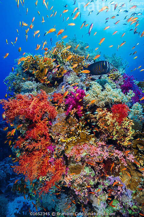 Soft corals (Dendronephthya sp.) and Fire coral (Millepora sp.) with Scalefin anthias (Pseudanthias squammipinnis), Ras Mohammad National Park. Egypt, Red Sea.  ,  Animal,Wildlife,Cnidarian,Hydrozoan,Athecate hydroid,Fire coral,Anthrozoan,Soft coral,Vertebrate,Ray-finned fish,Percomorphi,Anthias,Animalia,Animal,Wildlife,Cnidaria,Cnidarian,Coelentrerata,Hydrozoa,Hydrozoan,Hydroid,Anthoathecata,Athecate hydroid,Anthomeduseae,Milleporidae,Fire coral,Anthozoa,Anthrozoan,Alcyonacea,Soft coral,Nephtheidae,Dendronephthya,Vertebrate,Actinopterygii,Ray-finned fish,Osteichthyes,Bony fish,Fish,Perciformes,Percomorphi,Acanthopteri,Serranidae,Pseudanthias,Anthias,Group Of Animals,School,Group,Africa,North Africa,Northern Africa,Egypt,Tropical,Reef,Reefs,Coral Reef,Coral Reefs,Red Sea,Landscape,Marine,Water,Habitat,Saltwater,Sea,Anthomedusa,Gymnoblastea,Gymnoblasteae,Invertebrate,Invertebrates,Marine  ,  Brandon Cole