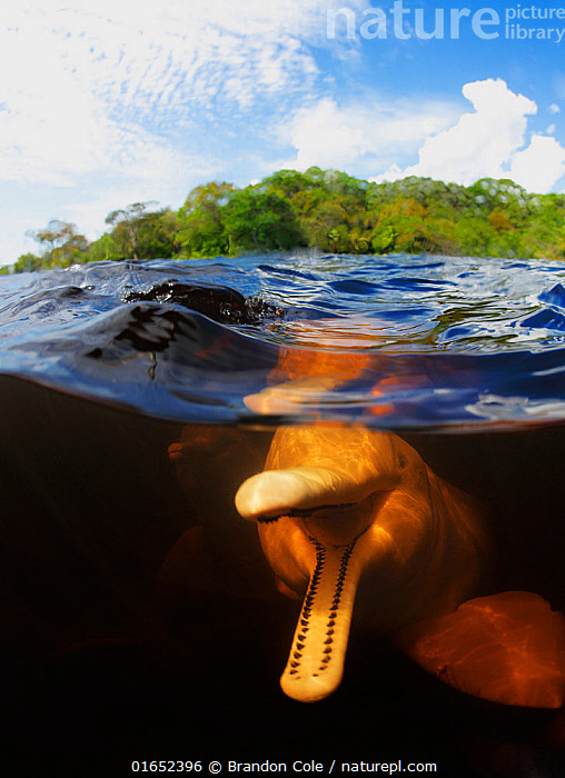 Amazon river dolphin (Inia geoffrensis) split level view showing playful dolphin with mouth open. Rio Negro, Brazil.  ,  Animal,Wildlife,Vertebrate,Mammal,Ceteacean,River dolphin,Amazon river dolphin,Animalia,Animal,Wildlife,Vertebrate,Mammalia,Mammal,Cetacea,Ceteacean,Iniidae,River dolphin,Odontoceti,Inia,Inia geoffrensis,Amazon river dolphin,Delphinus geoffrensis,Delphinus frontatus,Delphinus geoffrensis de Blainville,Latin America,South America,Brazil,Portrait,Tropical,Flowing Water,River,Freshwater,Underwater,Split level,Water,Boto,Pink River dolphin,Freshwater  ,  Brandon Cole