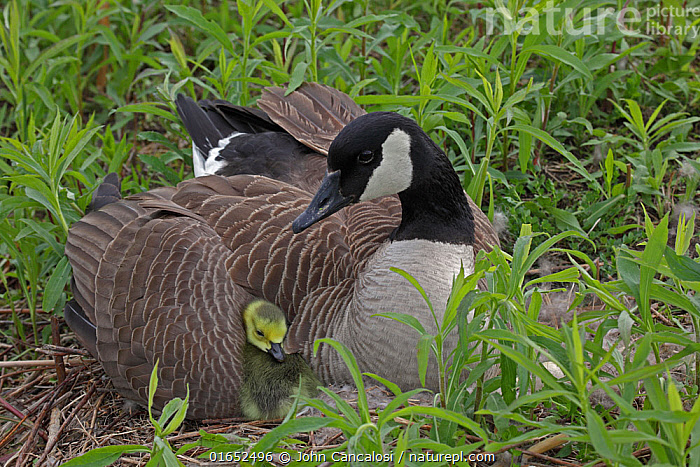 Canada Goose (Branta canadensis) on nest with goslings, New York, USA.  ,  Animal,Wildlife,Vertebrate,Bird,Birds,Water fowl,Waterfowl,True goose,Canada goose,American,Animalia,Animal,Wildlife,Vertebrate,Aves,Bird,Birds,Anseriformes,Water fowl,Galloanserans,Waterfowl,Anatidae,Branta,True goose,Goose,Anserini,Anserinae,Branta canadensis,Canada goose,North America,USA,Eastern USA,Mid-Atlantic US,New York,Young Animal,Baby,Chick,Animal Home,Nest,Family,American,United States of America,Wildfowl,Goose,Geese  ,  John Cancalosi