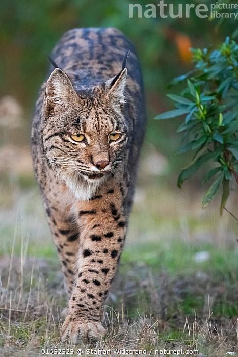 Iberian lynx (Lynx pardinus) walking, Parque Natural Sierra de Andujar, Andalucia, Spain. January.  ,  Animal,Wildlife,Vertebrate,Mammal,Carnivore,Cat,Lynx,Iberian lynx,Animalia,Animal,Wildlife,Vertebrate,Mammalia,Mammal,Carnivora,Carnivore,Felidae,Cat,Lynx,Lynx pardinus,Iberian lynx,Spanish Lynx,Pardel lynx,Felis pardina,Lynx pardella,Walking,Europe,Southern Europe,Spain,Andalusia,Front View,Reserve,Protected area,National Park,Moving,Movement,Endangered species,threatened,Critically endangered  ,  Staffan Widstrand