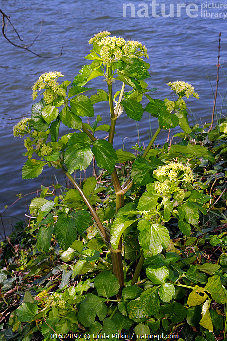 Alexanders (Smyrnium olusatrum) on bank of River Thames, Hampton, Richmond Upon Thames, England, UK. March.  ,  Plant,Vascular plant,Flowering plant,Asterid,Carrot family,Alexanders,Plantae,Plant,Tracheophyta,Vascular plant,Magnoliopsida,Flowering plant,Angiosperm,Spermatophyte,Spermatophytina,Angiospermae,Apiales,Asterid,Dicot,Dicotyledon,Asteranae,Apiaceae,Carrot family,Parsley family,Umbelliferae,Smyrnium,Alexanders,Smyrnium olusatrum,Alisanders,Horse parsley,Europe,Western Europe,UK,Great Britain,England,London,Greater London,Outer London,Richmond upon Thames,Hampton,Flower,Freshwater,Water,  ,  Linda Pitkin
