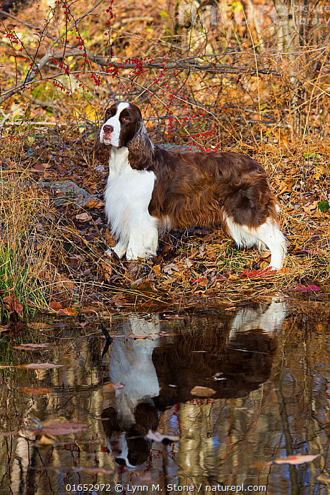 English springer spaniel standing in autumn woodland, Cockaponset State Forest, Connecticut, USA. November.  ,  Canis familiaris,Standing,Animal,Reflection,Outdoors,Autumn,Domestic animal,Pet,Domestic Dog,Gun dog,Domesticated,Canis familiaris,Dog,Mammal,  ,  Lynn M. Stone