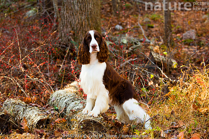 English springer spaniel standing in autumn woodland, Cockaponset State Forest, Connecticut, USA. November.  ,  Canis familiaris,Standing,Animal,Outdoors,Autumn,Domestic animal,Pet,Domestic Dog,Gun dog,Domesticated,Canis familiaris,Dog,Mammal,  ,  Lynn M. Stone