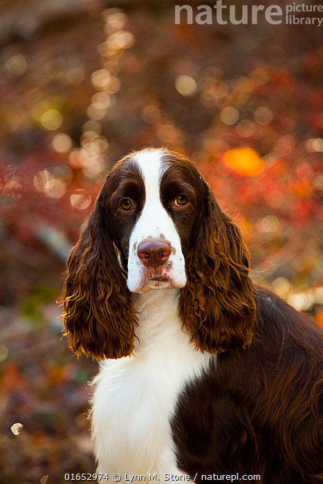 English springer spaniel, head portrait, in autumn woodland, Cockaponset State Forest, Connecticut, USA. November.  ,  Canis familiaris,Animal,Outdoors,Autumn,Domestic animal,Pet,Domestic Dog,Gun dog,Domesticated,Canis familiaris,Dog,Mammal,  ,  Lynn M. Stone