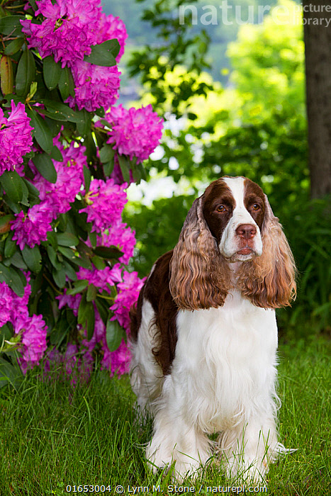 English springer spaniel standing in Rhododendron flowers, Connecticut, USA. June.  ,  Canis familiaris,Standing,Animal,Plant,Outdoors,Domestic animal,Pet,Domestic Dog,Gun dog,Domesticated,Canis familiaris,Dog,Mammal,  ,  Lynn M. Stone