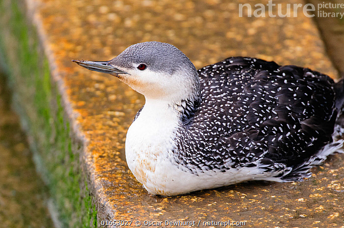 Red-throated diver (Gavia stellata) in winter plumage sitting on steps beside the River Thames, London, England, UK, April.  ,  Animal,Wildlife,Vertebrate,Bird,Birds,Diver,Red throated diver,Animalia,Animal,Wildlife,Vertebrate,Aves,Bird,Birds,Gaviiformes,Gaviidae,Diver,Loon,Gavia,Gavia stellata,Red throated diver,Red throated loon,Europe,Western Europe,UK,Great Britain,England,London,Greater London,Colour-phases,Winter plumage,  ,  Oscar Dewhurst