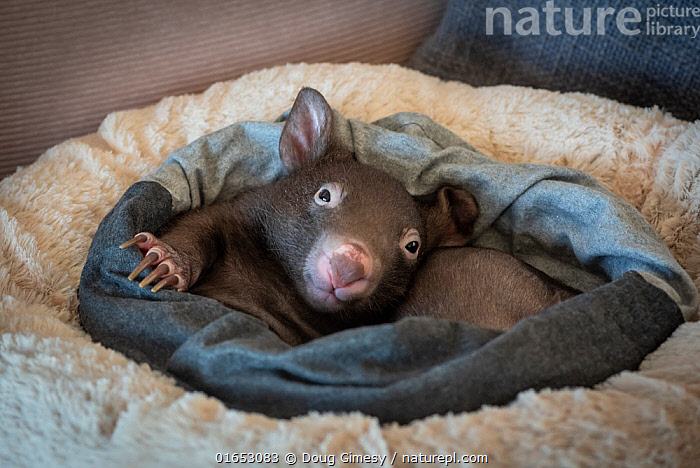 One 7 and one 8-month-old male orphaned and rescued baby bare-nosed wombat (Vombatus ursinus), 'Bronson' (partially visible) and 'Landon', in a home-made pouch. Cared for by Emily Small, founder of Goongerah Wombat Orphanage. Due to Covid-19 lockdown she is caring for him in her Melbourne inner-city apartment, not at the orphanage 450kms away. Temporarily captive, until old enough to be released. Preston, Victoria, Australia, June 2020. Editorial use only.  ,  Animal,Wildlife,Vertebrate,Mammal,Marsupial,Wombat,Common wombat,Animalia,Animal,Wildlife,Vertebrate,Mammalia,Mammal,Marsupialia,Marsupial,Vombatidae,Wombat,Vombatus,Vombatus ursinus,Common wombat,Vombatus fossor,Vombatus fuscus,Vombatus wombat,Cute,Adorable,Rescue,Rescues,Rescuing,Saving,Young Animal,Baby,Building,Residential Structure,Apartment,Apartments,Flats,Indoors,Conservation,Animal rehabilitation,Rehabilitation,Wildlife conservation,Animal orphan,Orphan,Animal Rescue,Covid lockdown,  ,  Doug Gimesy