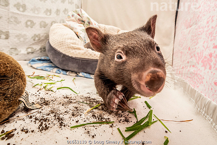 A 8-month-old male orphaned and rescued baby bare-nosed wombat (Vombatus ursinus) 'Bronson' in a cot. With local soil and grass placed in the cot. Temporarily captive, until old enough to be released. Preston, Victoria, Australia. July, 2020. Editorial use only.  ,  Animal,Wildlife,Vertebrate,Mammal,Marsupial,Wombat,Common wombat,Animalia,Animal,Wildlife,Vertebrate,Mammalia,Mammal,Marsupialia,Marsupial,Vombatidae,Wombat,Vombatus,Vombatus ursinus,Common wombat,Vombatus fossor,Vombatus fuscus,Vombatus wombat,Cute,Adorable,Rescue,Rescues,Rescuing,Saving,Young Animal,Baby,Building,Residential Structure,Apartment,Apartments,Flats,Indoors,Conservation,Animal rehabilitation,Rehabilitation,Wildlife conservation,Animal orphan,Orphan,Animal Rescue,Covid lockdown,  ,  Doug Gimesy
