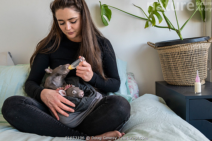 A 6-month-old male orphaned and rescued baby bare-nosed wombat (Vombatus ursinus) named 'Landon', is bottle fed a food supplement by Emily Small, founder of Goongerah Wombat Orphanage. Due to Covid-19 lockdown she is caring for him in her Melbourne inner-city apartment, not at the orphanage 450kms away. Temporarily captive, until old enough to be released. Preston, Victoria, Australia, May 2020. Editorial use only.  ,  Animal,Wildlife,Vertebrate,Mammal,Marsupial,Wombat,Common wombat,Animalia,Animal,Wildlife,Vertebrate,Mammalia,Mammal,Marsupialia,Marsupial,Vombatidae,Wombat,Vombatus,Vombatus ursinus,Common wombat,Vombatus fossor,Vombatus fuscus,Vombatus wombat,People,Woman,Rescue,Rescues,Rescuing,Saving,Young Animal,Baby,Building,Residential Structure,Apartment,Apartments,Flats,Indoors,Feeding,Conservation,Animal rehabilitation,Rehabilitation,Wildlife conservation,Animal orphan,Orphan,Bottle Feeding,Animal Rescue,Covid lockdown,  ,  Doug Gimesy