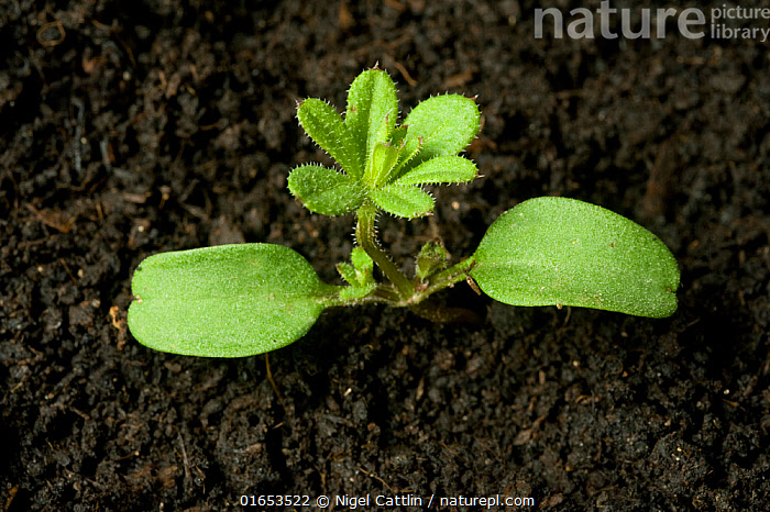 Seedling Cleavers / Goosegrass (Galium aparine) annual arable and garden weed with cotyledons and first true whorl  ,  close up,seedling,cleavers,goosegrass,sticky,Galium,aparine,annual,arable,garden,agriculture,weed,cotyledons,first,true,leaf,rosette,whorl,angiosperm,eudicot,dicotyledon,Rubiaceae,,Plant,Vascular plant,Flowering plant,Asterid,Cleavers,Plantae,Plant,Tracheophyta,Vascular plant,Magnoliopsida,Flowering plant,Angiosperm,Spermatophyte,Spermatophytina,Angiospermae,Gentianales,Asterid,Dicot,Dicotyledon,Asteranae,Rubiaceae,Galium,Galium aparine,Cleavers,Bedstraw,Cleaverwort,Goose grass,Scarthgrass,Catchweed bedstraw,Galium spurium,Galium vaillantii,Growth,Seedling,Seedlings,  ,  Nigel Cattlin
