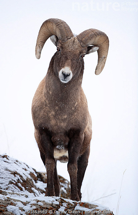 Big horn sheep (Ovis canadensis) male looking down from snowy ledge, portrait. Yellowstone National Park, USA, January.  ,  Animal,Wildlife,Vertebrate,Mammal,Bovid,Sheep,Bighorn sheep,American,Animalia,Animal,Wildlife,Vertebrate,Mammalia,Mammal,Artiodactyla,Even-toed ungulates,Bovidae,Bovid,ruminantia,Ruminant,Ovis,Sheep,Ovis canadensis,Bighorn sheep,North America,USA,Western USA,Portrait,Male Animal,Ram,Rams,Snow,Reserve,Protected area,National Park,Horn,Yellowstone National Park,American,United States of America,  ,  Danny Green